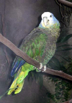 Amazona guildingii